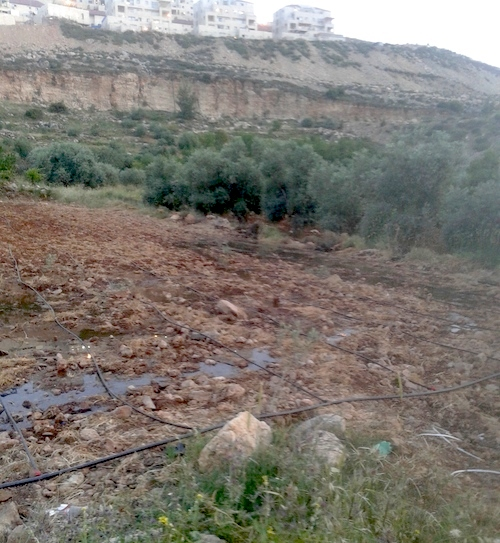Sewage from the Jewish squatter colony of Beitar Illit flowing on to a Palestinian farm
