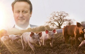 David Cameron and pigs